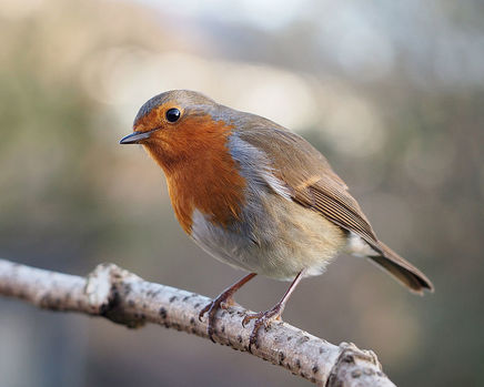 erithacus-rubecula-with-cocked-head